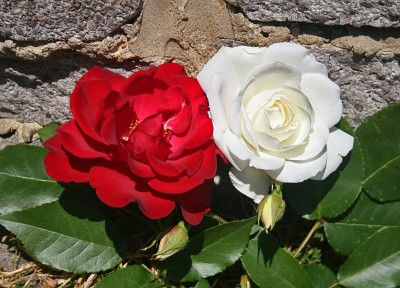 The red rose of Lancashire and the white rose of  Yorkshire.